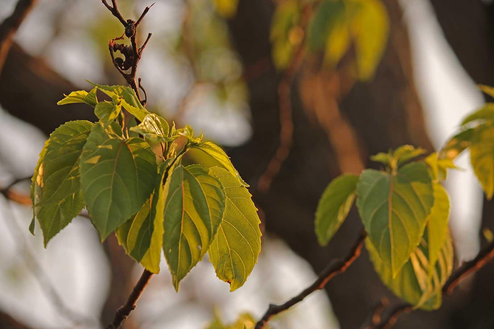 Japanese Raisin Tree Extract